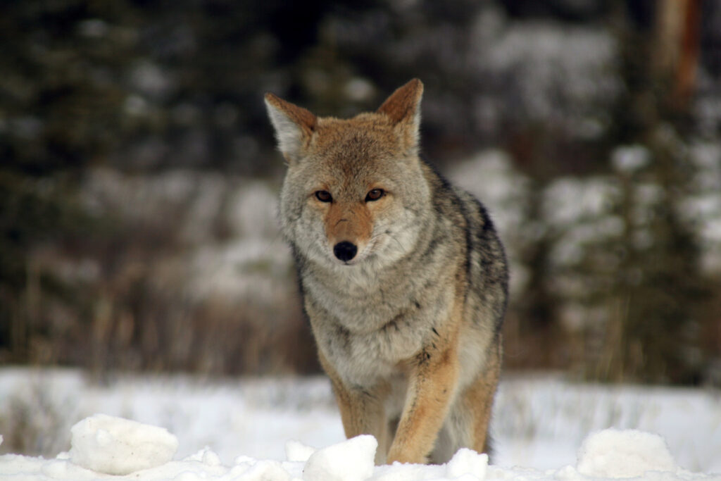 young-coyote-1400387