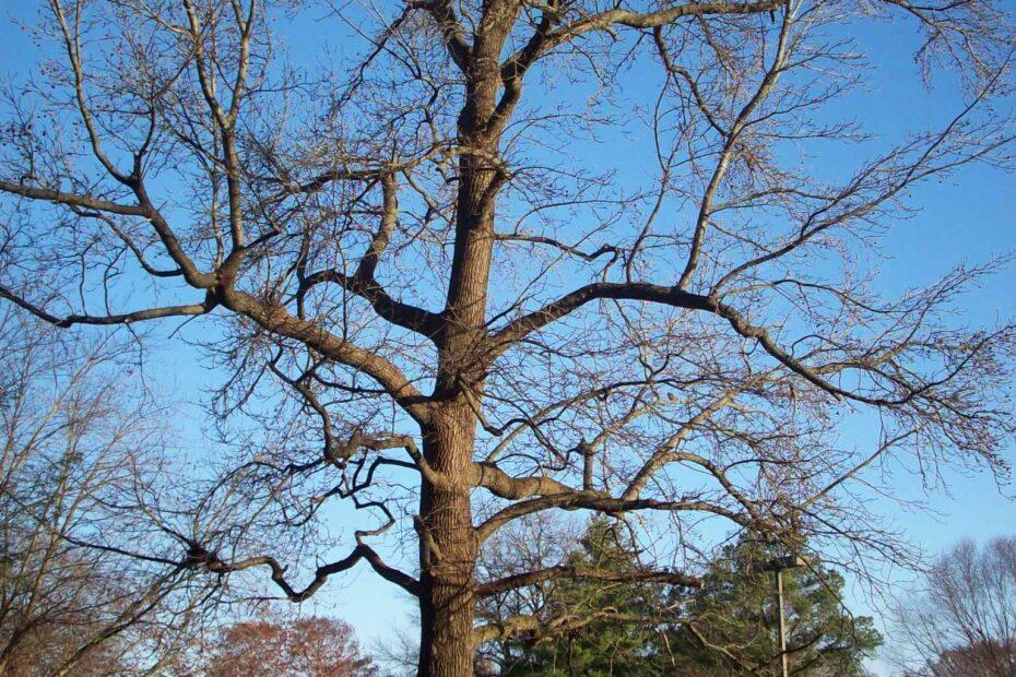 Farewell, Sweetgum Tree